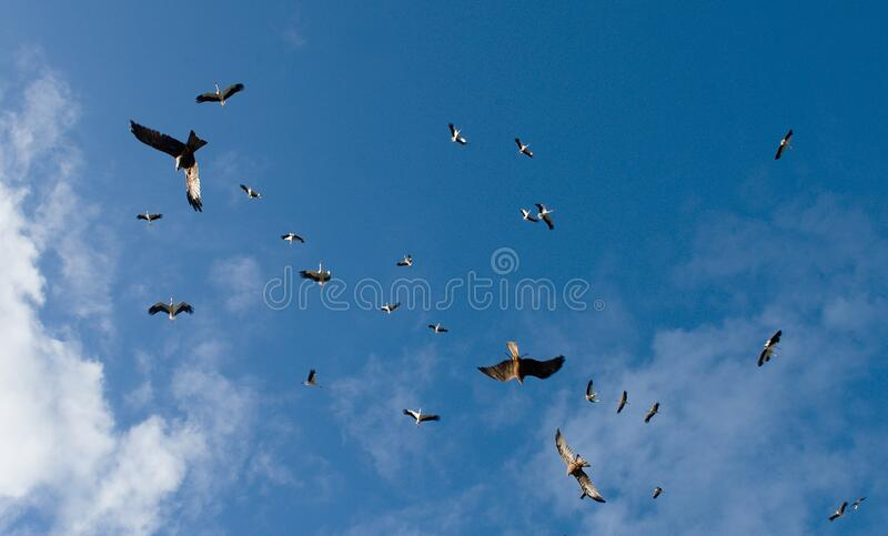 The eagles are chasing a flock of storks royalty free stock image