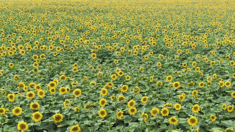 Flying over a Sunflower field, drone moving across a yellow field of sunflowers, aerial view of a sunflower field during royalty free stock photos