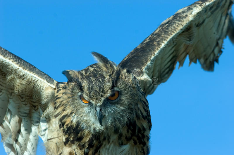 Download Flying owl stock image. Image of nature, academic, hunting - 11491791