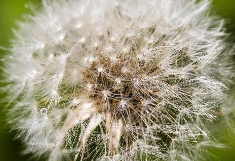 Flying parachutes - dandelion. Dandelion as a fluffy bead. the field of rain it turns into a white cloud and a lot of small droplets of water, but as soon as the royalty free illustration