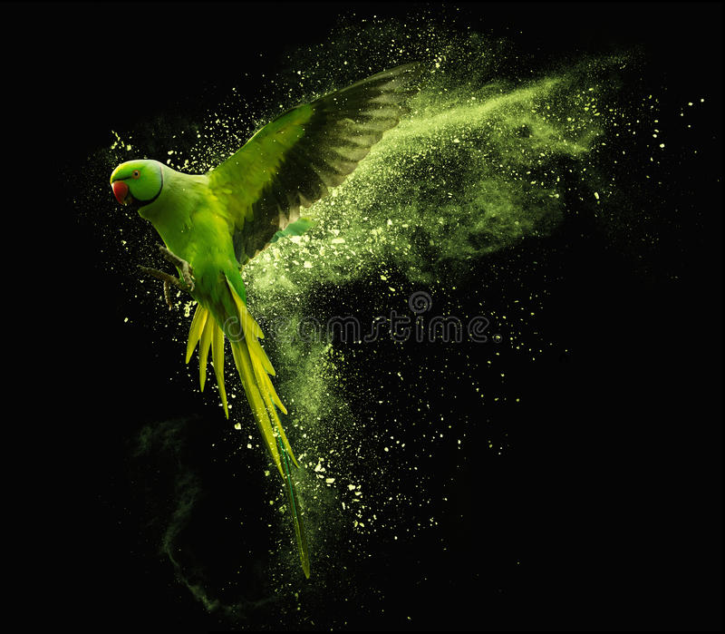 Flying parrot Alexandrine parakeet with colored powder clouds. On black background. Flying green parrot Alexandrine parakeet with colored powder clouds. Isolated royalty free stock image