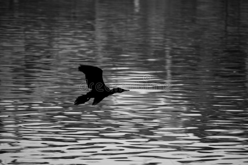 Flying in peace without traffic. A duck flying in peace alone and also sad, but this kind of peace that comes rarely stock images