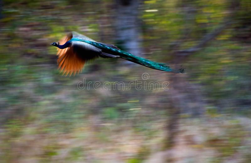 Download Flying peacock. stock photo. Image of flying, birds, blue - 16571244