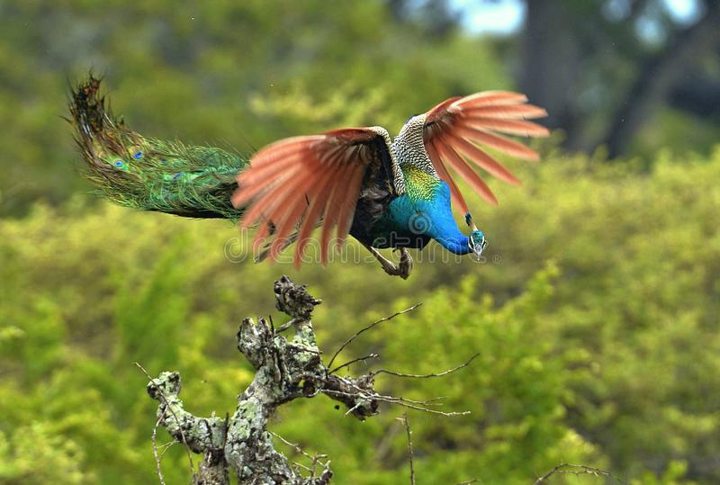 A flying peacock. Pavo cristatus. Flying peacock. The Indian peafowl or blue peafowl Pavo cristatus. Foliage background. Movement royalty free stock images