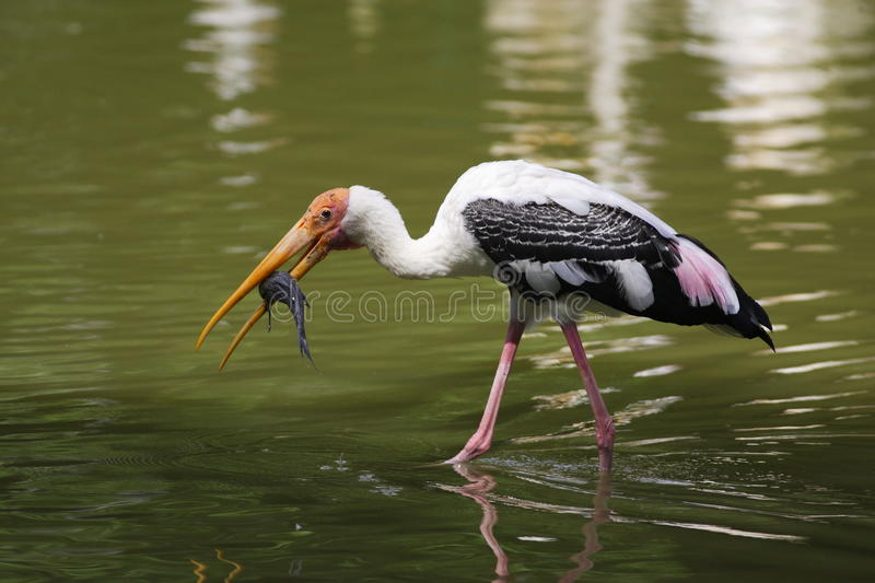 Download Flying Pelican stock image. Image of pond, birds, reflection - 11865185