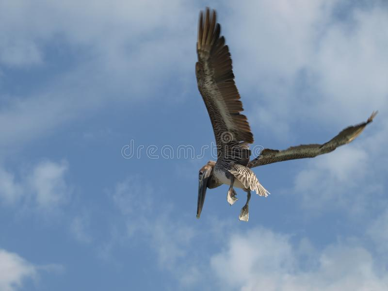 Download Flying pelican. stock image. Image of large, wing, nature - 8630621