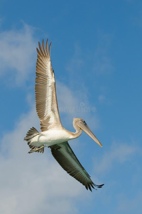 Free Flying Pelican, Los Roques Islands, Venezuela Stock Photos - 12724553