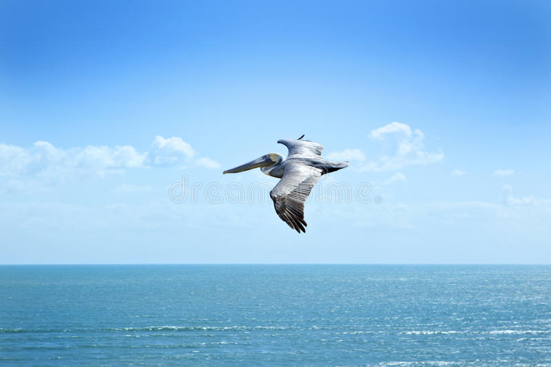 Flying Pelican Sky Ocean Florida royalty free stock image