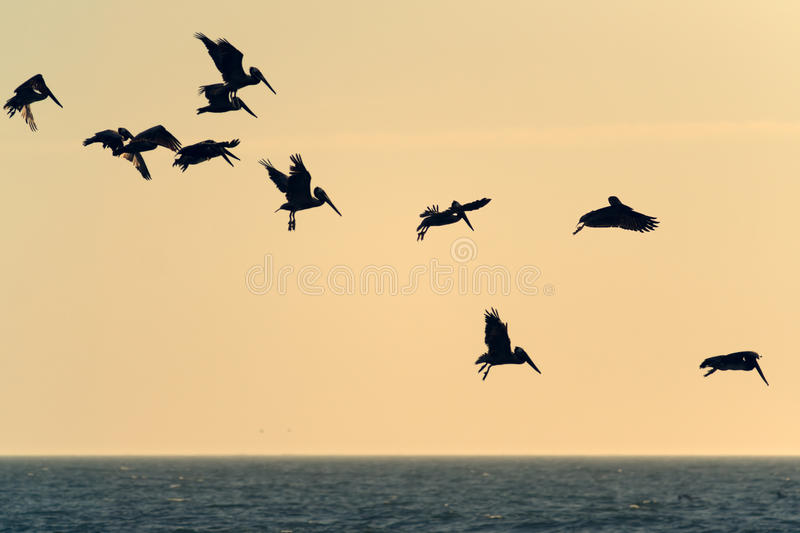 Flying pelicans royalty free stock image