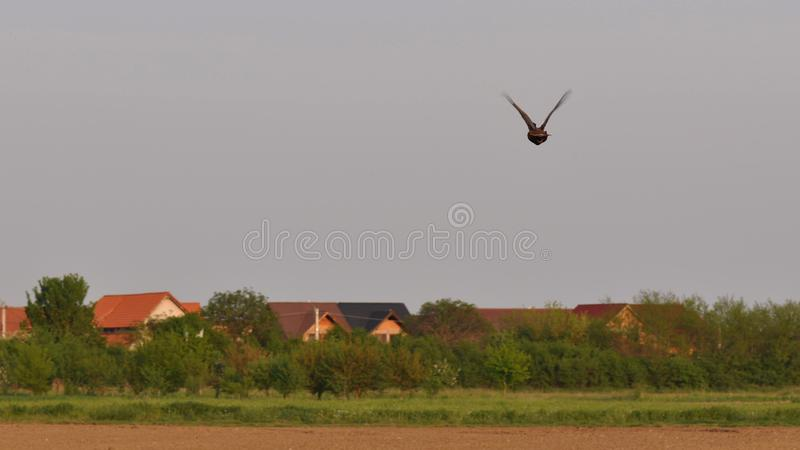 Flying pheasant. Meadow with pheasant in the spring time stock images