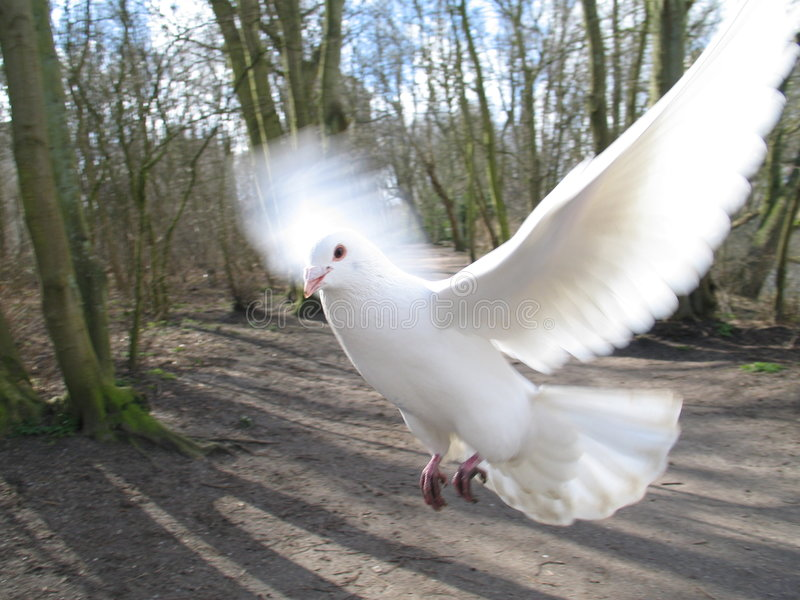 Flying pigeon royalty free stock photo