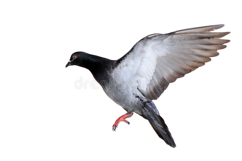 Flying pigeon isolated on white royalty free stock photography