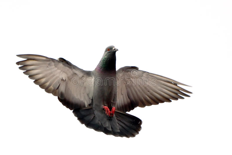 Flying pigeon isolated on white stock images