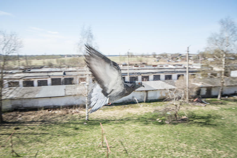 Flying Pigeon portrait, close up royalty free stock photo