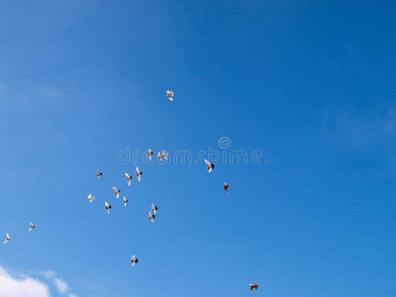 Flying pigeon team in the blue sky. royalty free stock image