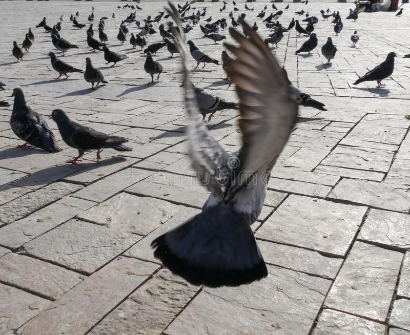 Flying pigeon wing royalty free stock photo