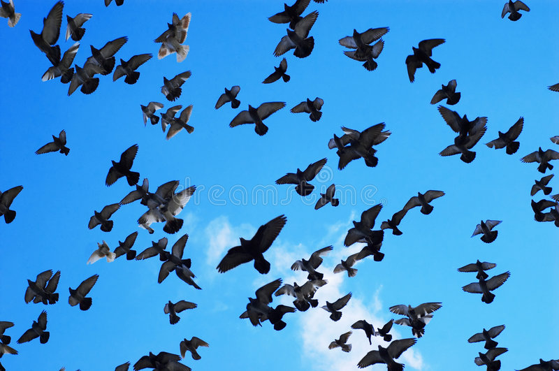 Flying Pigeons Stock Photos