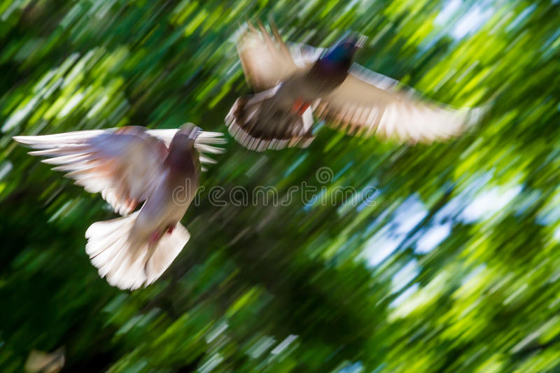 Download Flying pigeons stock image. Image of peace, pigeon, flocking - 24712481