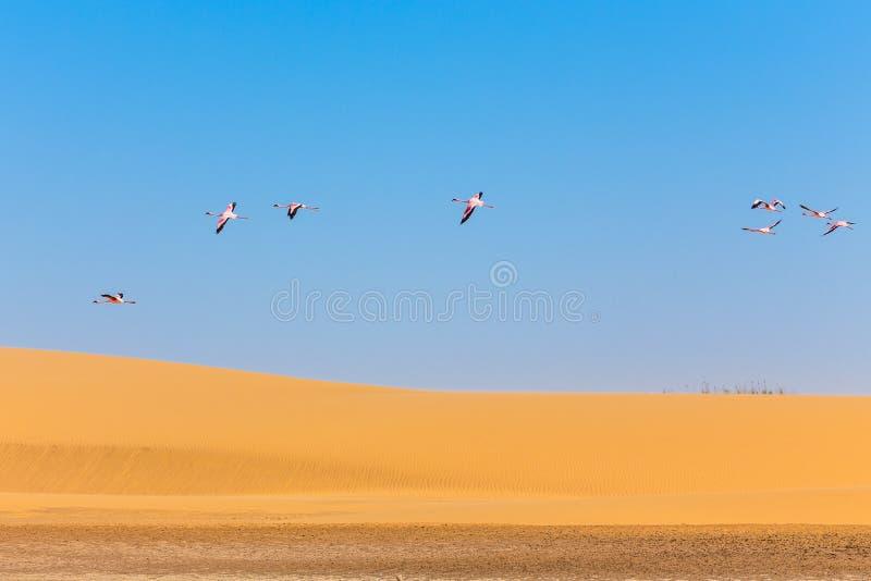 Flying pink flamingos over the dune in Kalahari Desert royalty free stock image