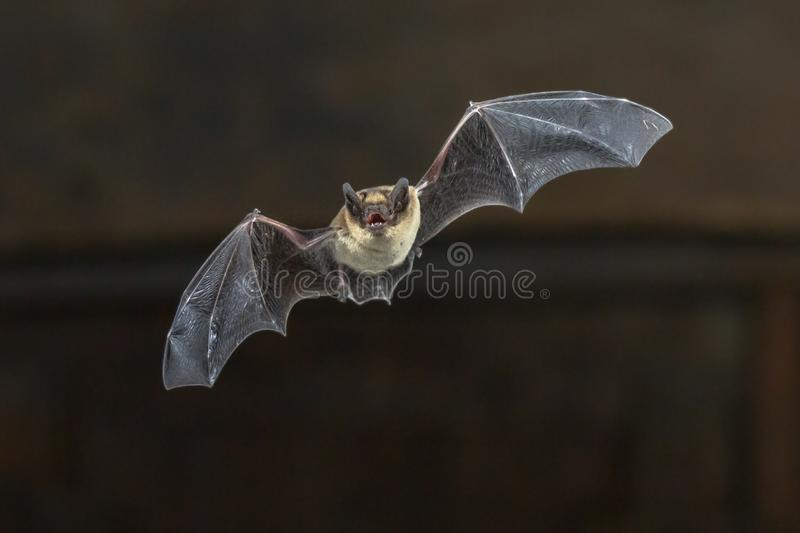 Flying Pipistrelle bat on wooden ceiling royalty free stock image