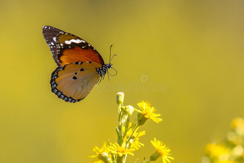 Flying Plain tiger butterfly royalty free stock photography