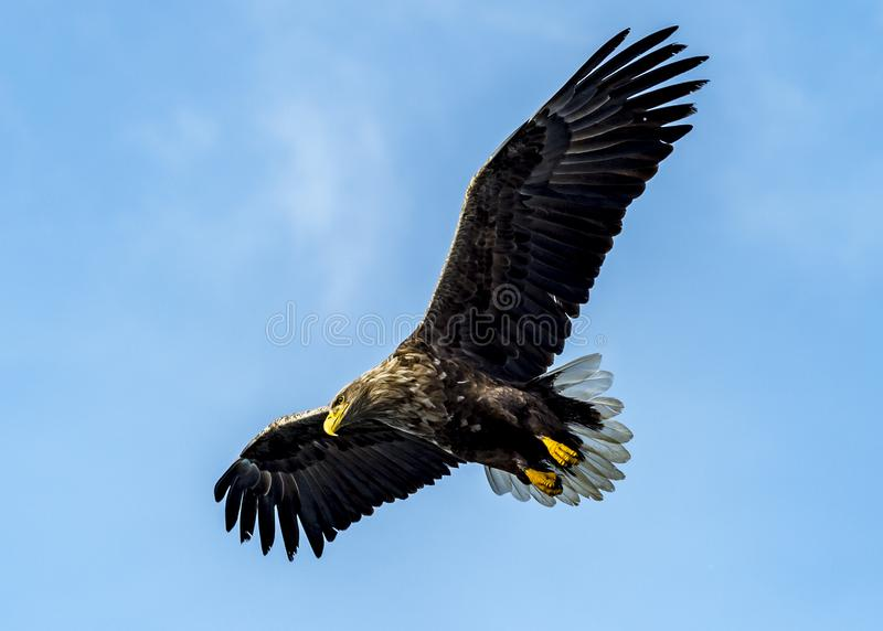 Flying Predatory Stellers Sea-eagle. The Flying Predatory Stellers Sea-eagle near Rausu in Shiretoko, Hokkaido of Japan stock photography