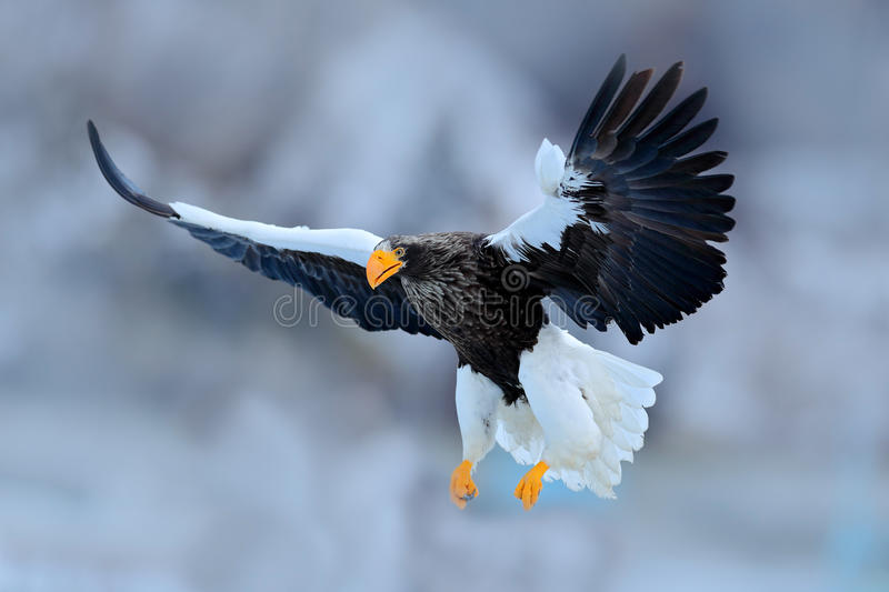 Flying rare eagle. Steller`s sea eagle, Haliaeetus pelagicus, flying bird of prey, with blue sky in background, Hokkaido, Japan. E. Flying rare eagle. Steller`s royalty free stock photography