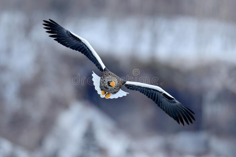 Flying rare eagle. Steller`s sea eagle, Haliaeetus pelagicus, flying bird of prey, with blue sky in background, Hokkaido, Japan. Flying rare eagle. Steller`s stock photography