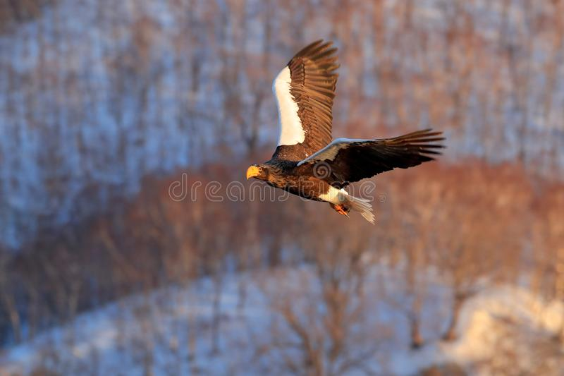 Flying rare eagle. Steller`s sea eagle, Haliaeetus pelagicus, flying bird of prey, with blue sky in background, Hokkaido, Japan. Flying rare eagle. Steller`s royalty free stock photos