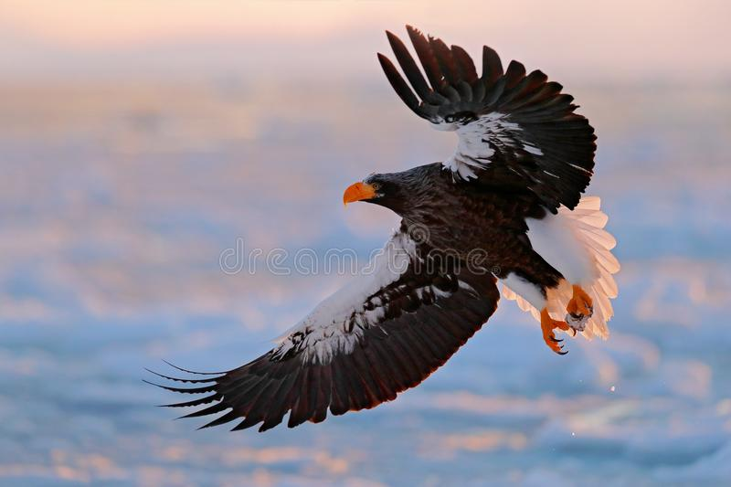 Flying rare eagle. Steller`s sea eagle, Haliaeetus pelagicus, flying bird of prey, with blue sky in background, Hokkaido, Japan. Eagle with nature mountain royalty free stock images