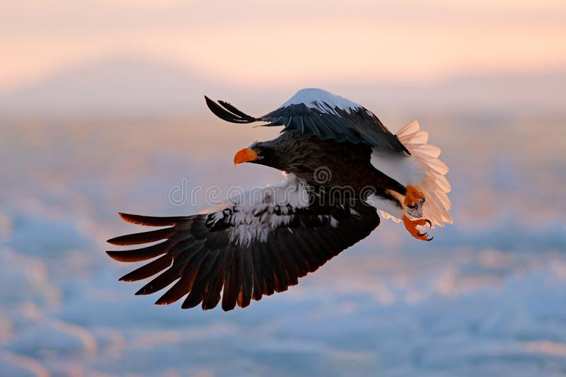 Flying rare eagle. Stellerl`s sea eagle, Haliaeetus pelagicus, flying bird of prey, with blue sky in background, Hokkaido, Japan. Flying rare eagle. Stellerl`s royalty free stock image
