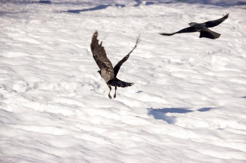 Flying Ravens. Ravens Flying Over Ground in Winter stock images