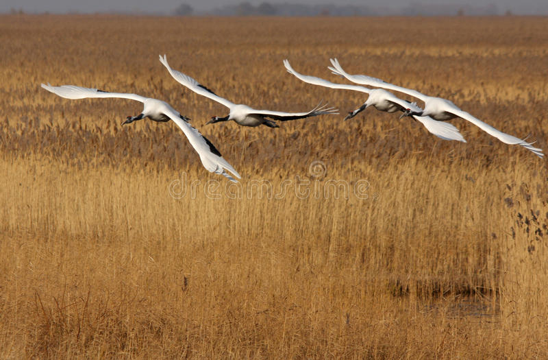 Flying the red-crowned crane birds stock photos