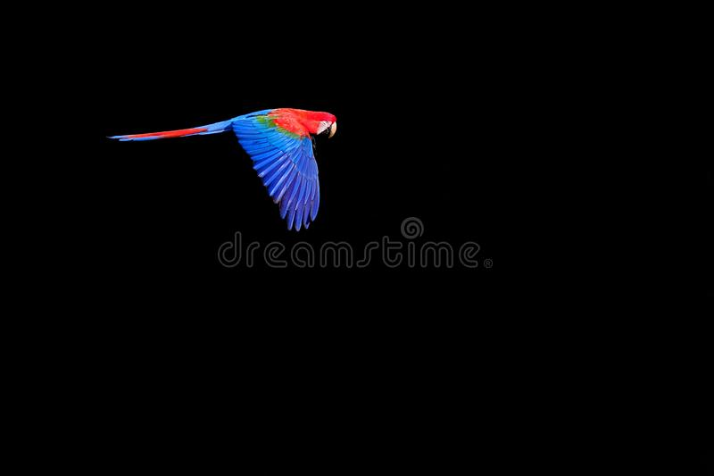 Flying Red And Green Macaw, Ara Chloropterus, Buraco Das Araras, near Bonito, Pantanal, Brazil stock image