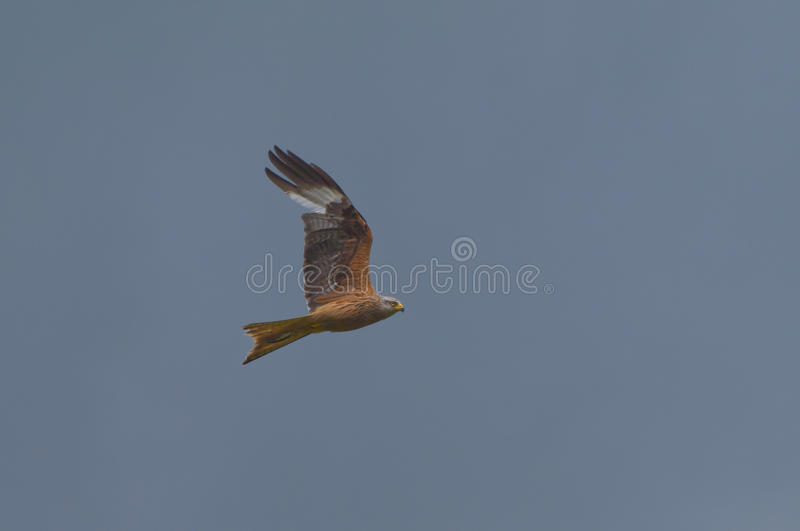 Flying red kite, bird of prey royalty free stock photography