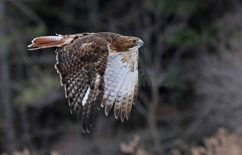 Flying Red-tailed Hawk. A Red-tailed hawk (Buteo jamaicensis) in mid-flight stock image
