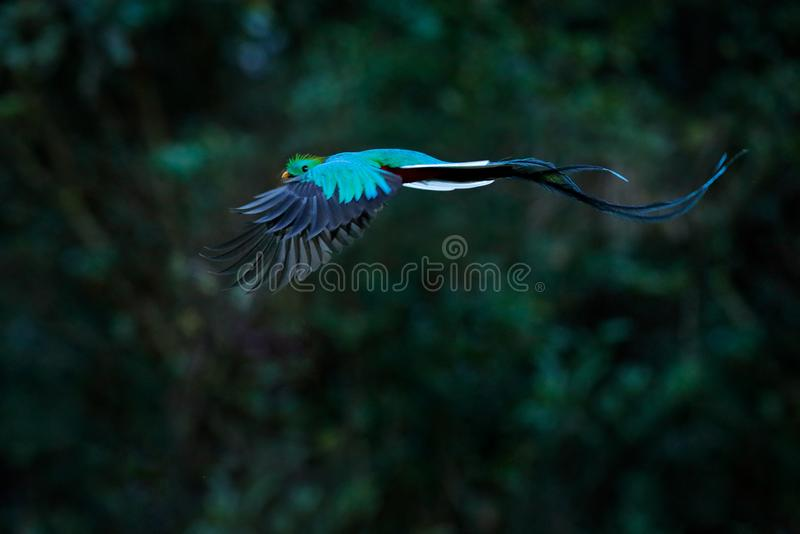 Flying Resplendent Quetzal, Pharomachrus mocinno, Costa Rica, with green forest in background. Magnificent sacred green and red stock photography