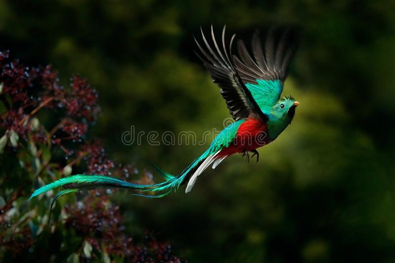 Flying Resplendent Quetzal, Pharomachrus mocinno, Savegre in Costa Rica, with green forest background. Magnificent sacred green an. Flying Resplendent Quetzal royalty free stock photos