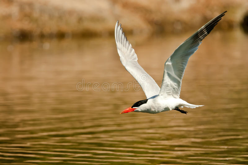 Download Flying Royal Tern stock image. Image of sterna, flying - 25932585