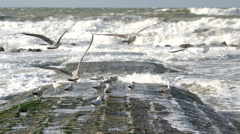 Download Flying Sea-gulls And Wild Sea Stock Image - Image: 2216507