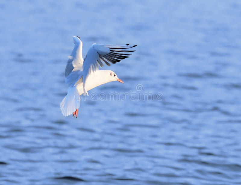 Download Flying seagull stock photo. Image of beautiful, waves - 16169224
