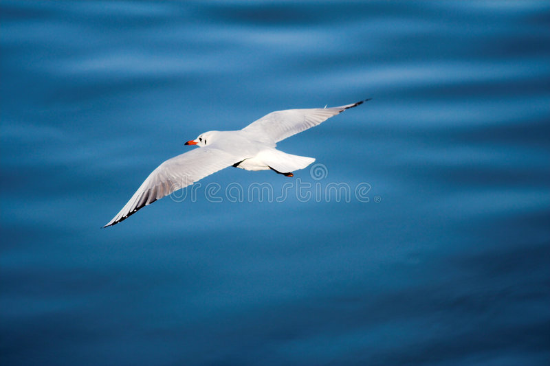 Flying SEAGULL. And blue water. Seagull above the ocean royalty free stock photography