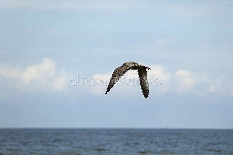 Download Flying seagull stock image. Image of waves, ocean, blue - 24134947