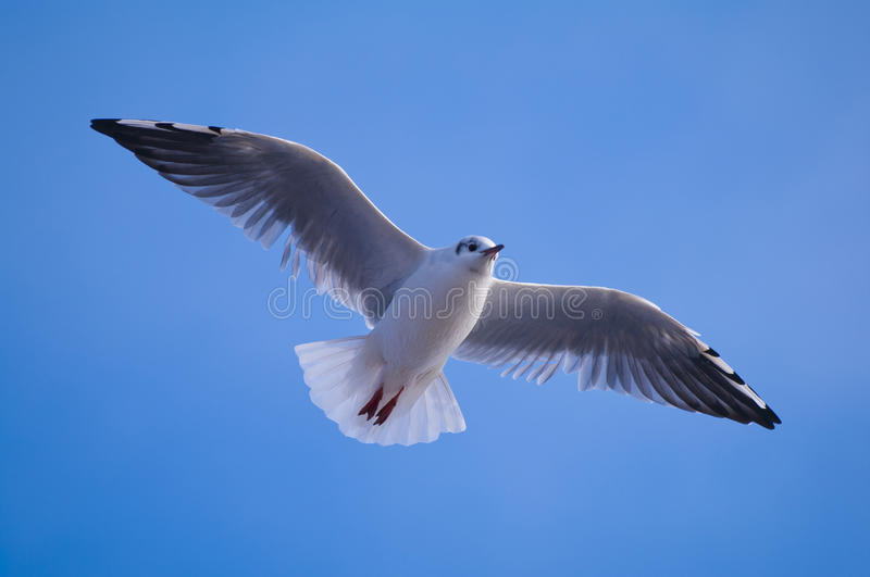 Download Flying seagull stock image. Image of freedom, animal - 26734439