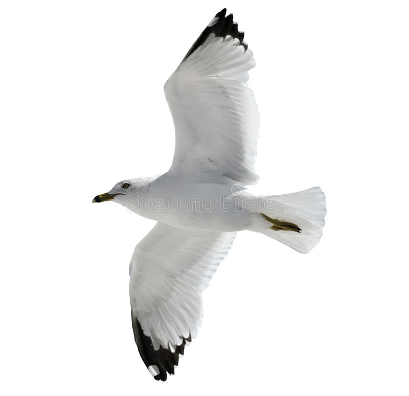 Free Flying Seagull Stock Images - 29677164