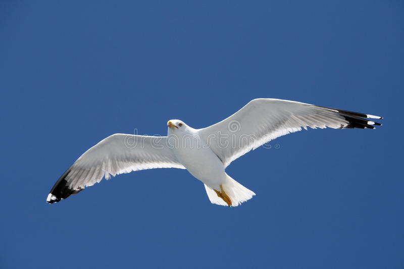 Download Flying seagull stock image. Image of environment, wilderness - 9823469