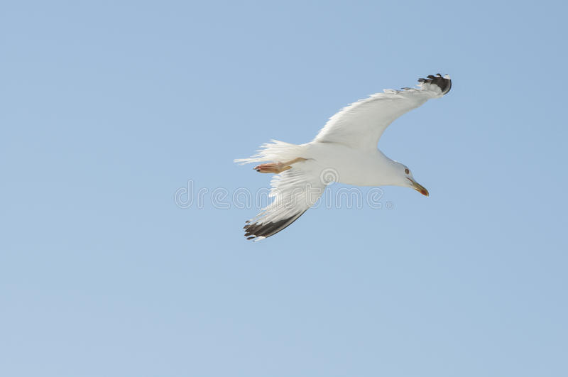 Flying seagull. Seagull flying against blue skies royalty free stock photos