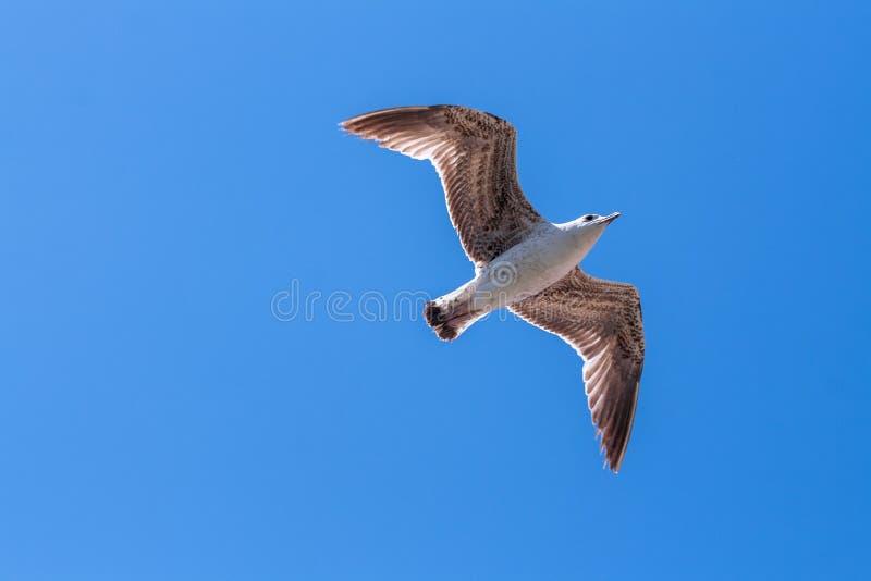 Flying seagull against a blue summeer sky, wings spread, looking forward stock photos
