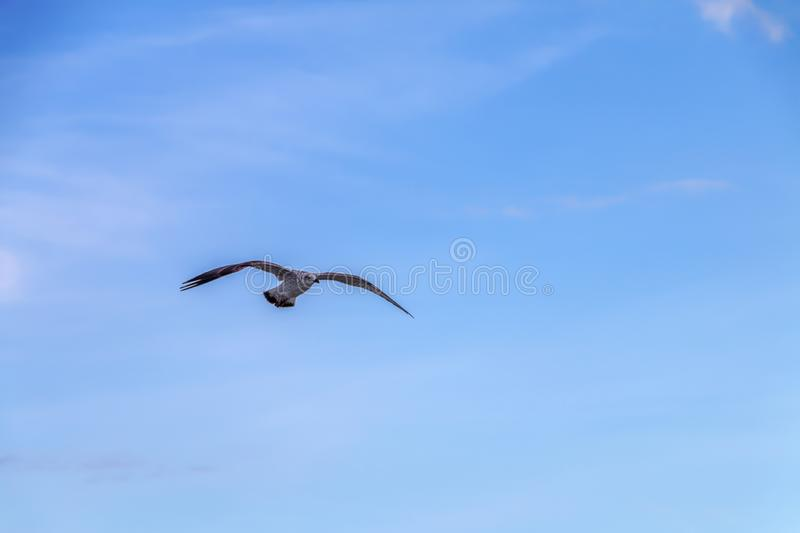 Lonely flying seagull on a background of blue sky. stock photography