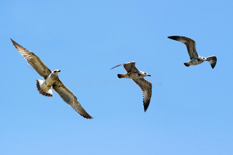Download Flying Seagull In The Blue Sky Stock Photo - Image: 25867826